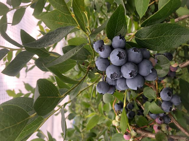 Blueberry Picking at White Oak Farm