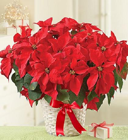 Holiday Poinsettia