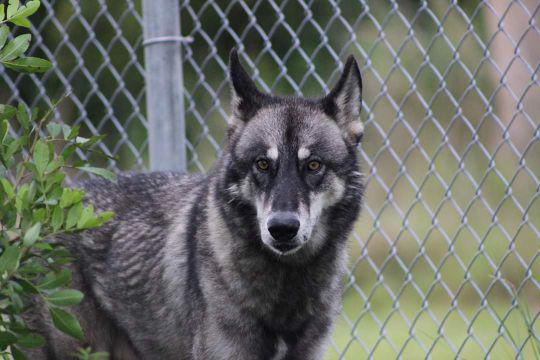 Wolf hybrid who escaped from animal sanctuary found playing with dogs, recaptured