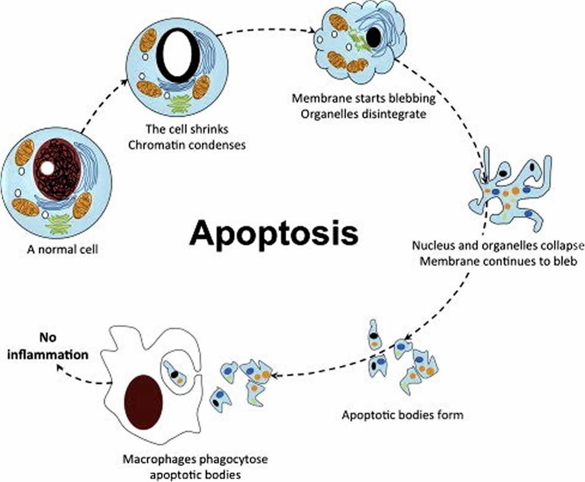 Apoptosis; Apostasy; Blebbing...