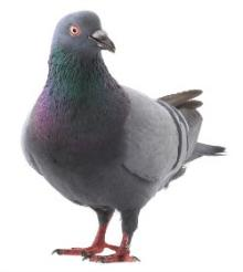 Pigeon or...Whatever